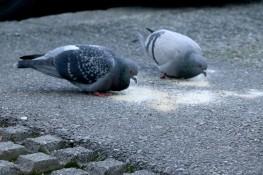 Pigeons pecking birdseed